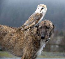 Sova nejraději tráví čas na Merlinových zádech.