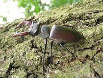 Roháč nemá rád tmavé monokulturní lesy
