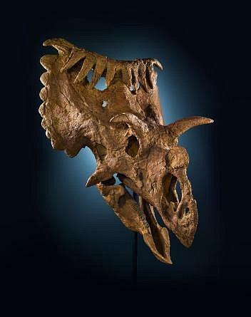 Tato neobvyklá lebka patřila příbuznému triceratopse, jehož vědci pojmenovali Kosmoceratops richardsoni.
