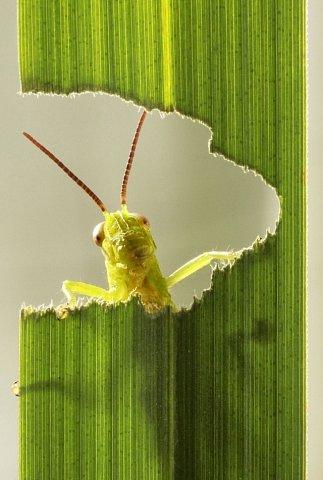 Nenasytná kobylka