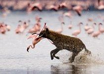 Hyena na lovu plameňáků