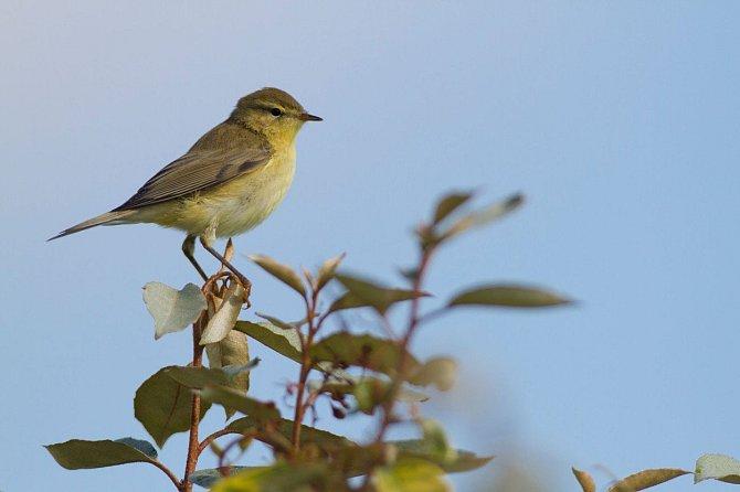 Budníček je o něco menší než vrabec. Sameček láká samičku pomocí melancholických hvízdavých zvuků.