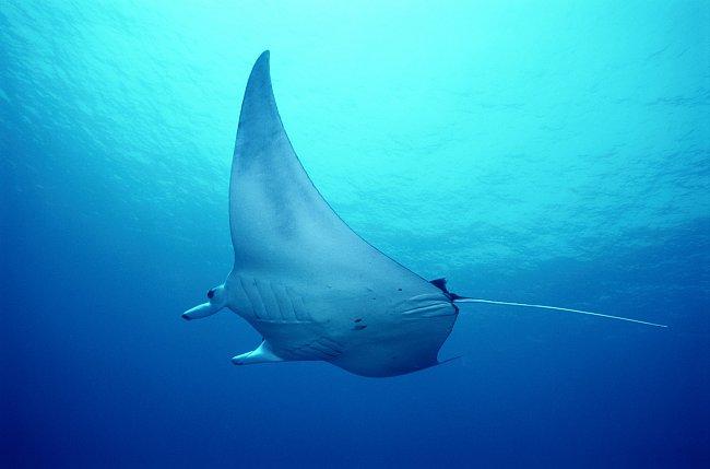 Rovněž si zaplaveme s elegantními mantami, jejichž rozpětí je více než dva metry.