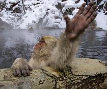 makakové se nesmírně rádi koupou, a zvlášť v teplé termální vodě.