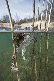 Kategorie Příroda v akci – 2. místo: Rostislav Štefánek – Rozmnožování ropuchy obecné