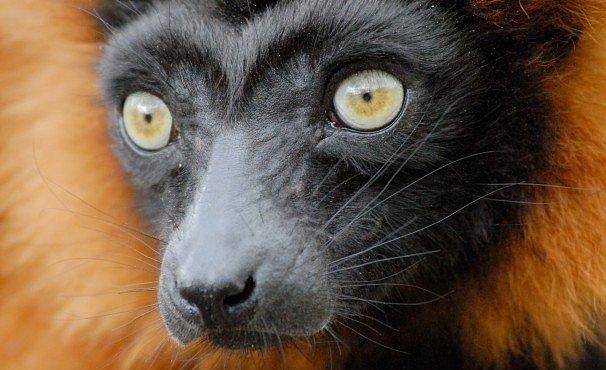 Lemuří armageddon. Vyhynutí hrozí 90 procentům druhů