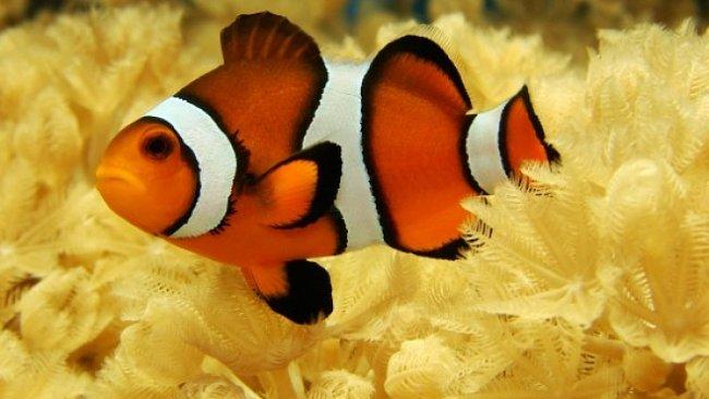 Hledá se Nemo – je totiž na vymření