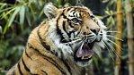 Tygr loví. Nejlepší (a drsná) VIDEA tygrů v akci