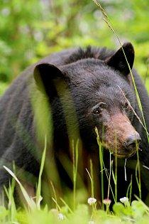 Na Yellowstonské plošině byla zachycena zřídkakdy filmovaná událost – právě probuzení medvědi se chystají na lov čerstvě narozených losích mláďat.