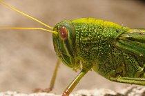 Podzemní prostory obývají z hmyzí říše převážně troglodyté, přizpůsobení naprosté tmě. Saranče mezi ně nepatří a bylo sem zřejmě strženo průvanem. Bylo podchlazené (v jeskyni je kolem 8 °C) a moc se n