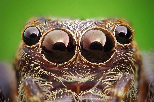 U pavouků jsou oči umístěné na různých hrbolcích. Obecně platí, že pavouci stavějící sítě nemají příliš dobrý zrak, narozdíl od pavouků, kteří loví bez sítě - ti vidí pomocí hlavních očí velice dobře.