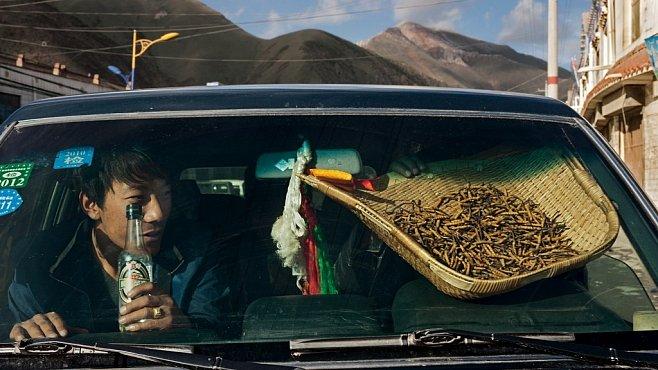 Exkluzivně pro NG: Tibetská parazitující houba je dražší než zlato