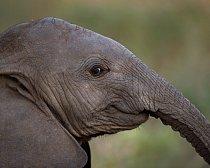 Mládě slona.