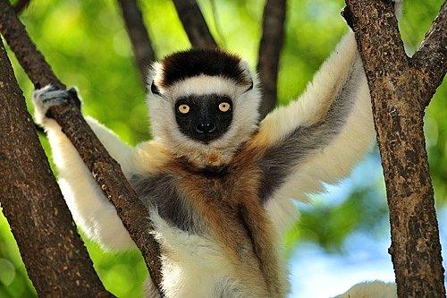 Madagaskar patří lemurům