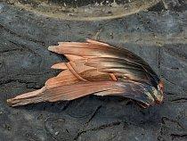"""""""Krásné věci"""" – jako tento kus hematitu vetvaru ptačího křídla – """"bývají předmětem sbírání avýzkumu jako první azaměřuje  se naně největší pozornost,"""" říká Robert McCracken Peck zAkademie přírod"""