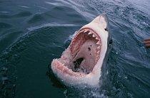 Gansbaai, Jižní Afrika: Žralok bílý