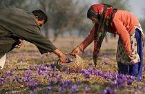 Koření se získává ze sušené červené blizny Šafránu. Na výrobu jednoho kila koření je potřeba 120 tisíc květů, které jsou samozřejmě sbírány ručně.