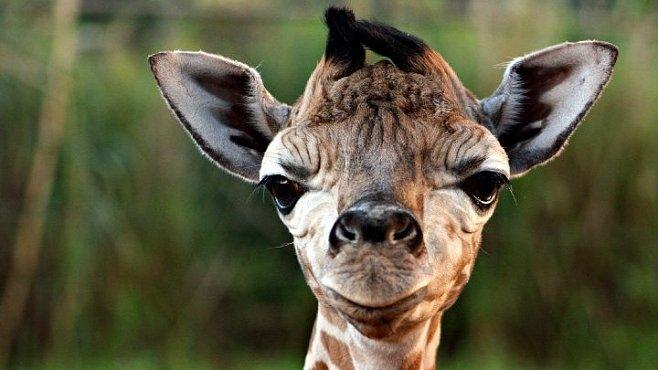 Mláďata ze zoo celého světa. Podívejte se na vzácného nosorožce, žirafu nebo fenka