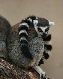 Lemur kata je vzácný, stejně jako ostatní endemičtí lemuři na Madagaskaru. Je přísně chráněn.