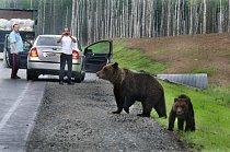 Chabarovský kraj na východě Ruska je domovem medvědů, kteří začali využívat silnici, která křižuje hluboký les. Přibližují se k autům se záměrem získat od projíždějících jídlo.