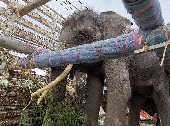 Gluay Hom stojí na plošině nákladního auta během čtrnáctihodinového převozu. Nákladní auto bylo vybaveno dřevěnými trámy, které byly obaleny měkkou tkaninou, a slon měl kdispozici spoustu potravy.