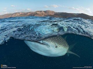 Žralok velrybí snídá plankton