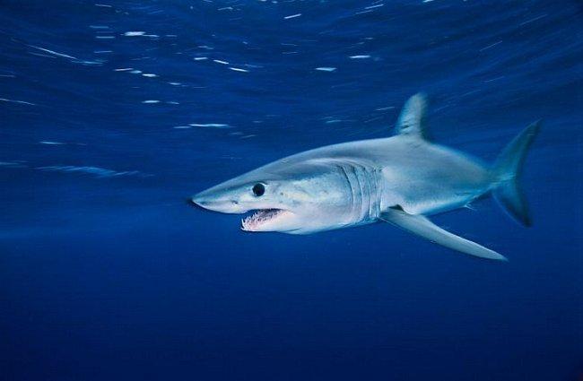 Kalifornie: Žralok mako