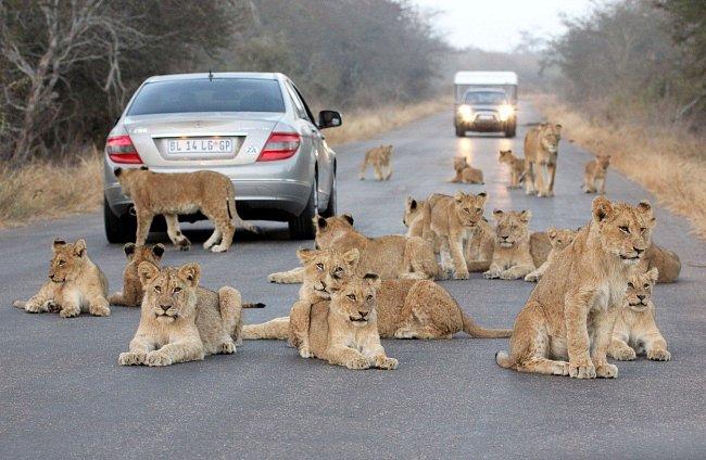 Nejen král zvířat, ale i král silnic. V Krugerově národním parku v Jihoafrické republice se uprostřed silnice zastavilo pět velkých koček i se svými lvíčaty.