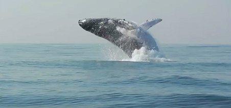 Podle vědců využívají velryby skákání nad hladinu ke komunikaci mezi sebou, když se od sebe vzdálí.
