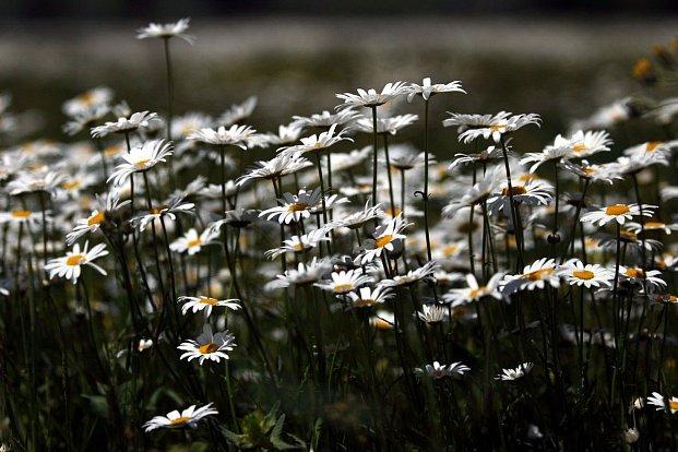 Jak květiny vědí, kdy přišel čas rozkvést?