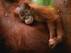 První kroky orangutánka