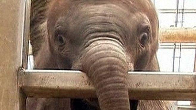 VIDEO: Umělé oplodnění slonice vyšlo. Mládě je na světě