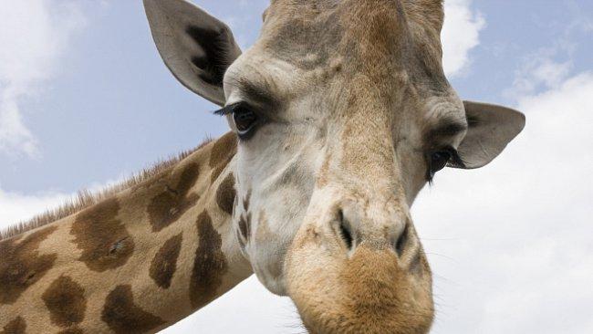 Truchlí zvířata? Žirafy, šimpanzi nebo sloni ano. Moc toho ale o jejich emocích nevíme