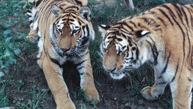 Soužití lidí a nebezpečných tygrů funguje. Dokážou si vyjít vstříc, ukázala nová studie