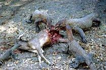 Varani cítí zápach krve na několik kilometrů. Ke kořisti se jich tak vždy seběhne rovnou několik najednou.