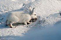 První den se sněhovou pokrývkou představuje změnu pro celý arktický ekosystém včetně polárního zajíce (Lepus arcticus). Pro toho je na jednu stranu poněkud obtížnější sehnat potravu, na stranu druhou