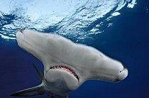 Bahamy: Kladivounovití jsou jednou z čeledí žraloků z řádu žralounů