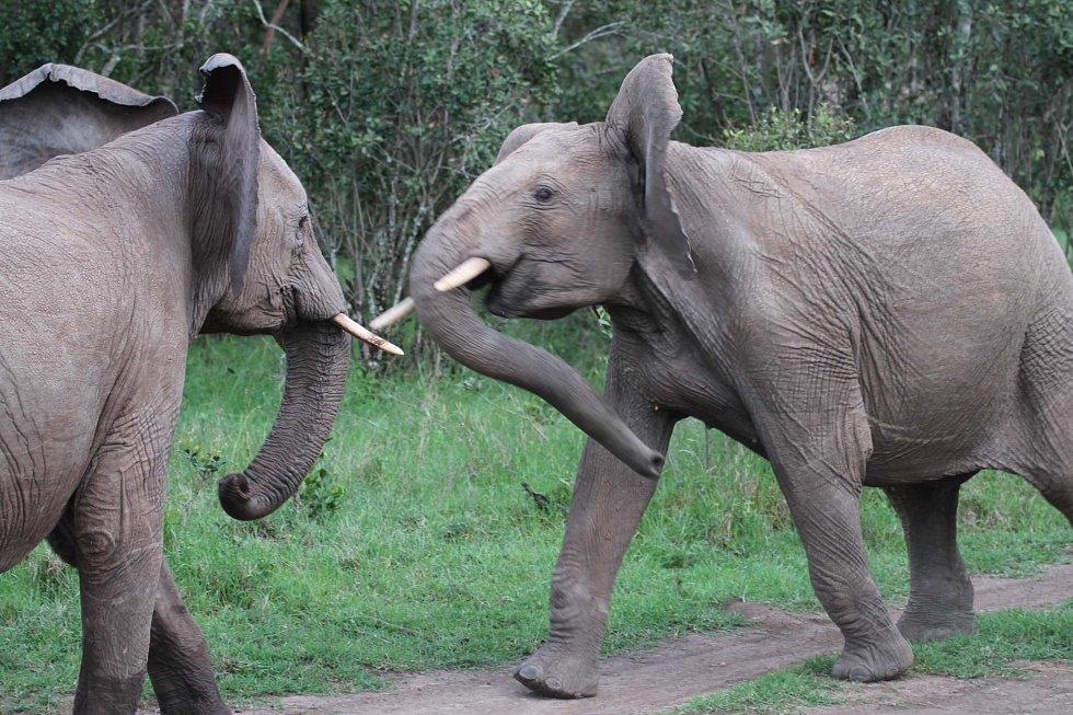 Slůňata v keňské rezervaci Sweetwaters
