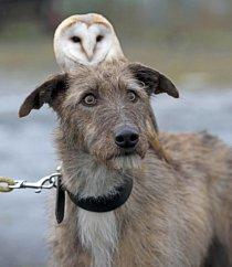 Willow, sova pálená, a Merlin, plemeno lurcher neboli kříženec chrta a teriéra, jsou nerozlučnou dvojkou.