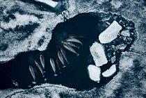 Skupina narvalů se shromáždila u jedné arktické ledové kry při lovu tresek. Kel tohoto živočicha je ve skutečnosti zub, který může narůst do délky téměř 3 metrů; byl pro člověka hádankou celá staletí.