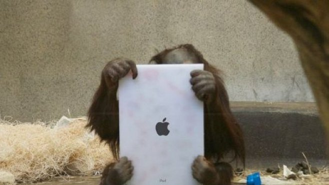 Orangutani v zoo v Miami používají iPady ke komunikaci
