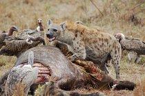 Hyeny jsou mrchožrouty, ale v případě hyeny skvrnité se ukazuje, že spíš svou kořist loví.
