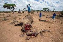 Masajská dívka skáče na zdechlině dvaapadesátileté slonice nedaleko národního parku Amboseli, který je obklopen farmami. Strážci mají podezření, že slonice byla otrávena za to, že plenila zásoby obilí. Odstranili její kly.