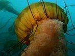 NG Channel: Obrovské medúzy