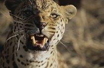 Close-up of an African leopard (Panthera pardus)
