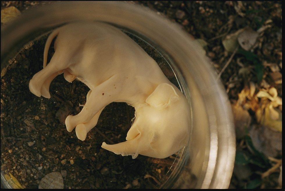 Sloní embryo