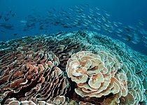 Oblast s větevníky přichycenými na svazích podmořské hory poblíž souostroví Raja Ampat poskytuje úkryt krabům, garnátům a jiným živočichům. Hejna ryb proplouvající kolem se mohou živit bezobratlými ži