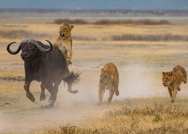 ...zaútočili na něj zezadu, kde se zvíře špatně brání...