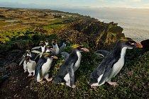 """Zástup tučňáků žlutorohých s čerstvě dorostlým peřím se plahočí po hřebeni starého sopečného kráteru na ostrově Marion. Ve stěnách kráteru za nimi je vidět """"Amfiteátr"""" – soustava teras, které tučňáci vytvořili během dlouhých věků."""