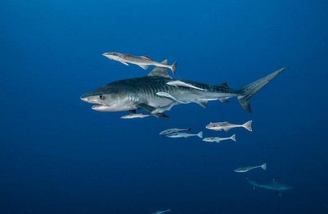 Jižní Afrika: Žralok tygří